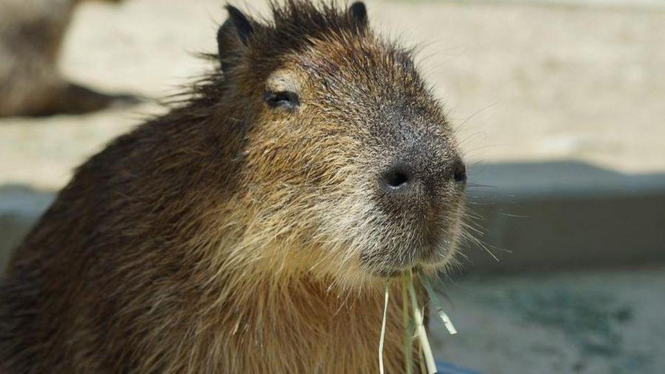 Mammifero Detto Poltrone.Dodici Capibara Muoiono Durante Un Volo La Compagnia Aerea