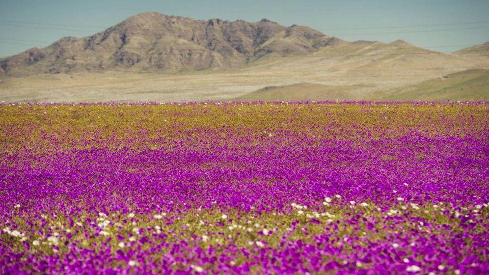Fiori Con La F.Sorpresa Nel Deserto Di Atacama Spuntano Fiori Con Cinque Anni D