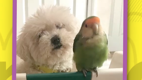 Budgie falls in love with the house dog and doesn't leave him for a second