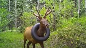 After two years with a tire around his neck, the moose is now free (but without the horns)