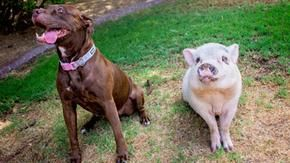A pig and dog who grew up together always found their dream home after the owner's death