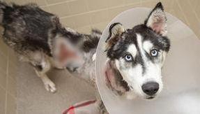 Hera curada milagrosamente, el husky encontrado en la calle, gravemente quemado