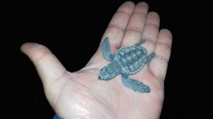 """Ischia, la sorpresa delle tartarughine in spiaggia: """"Qui non era mai successo"""""""