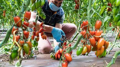 Se non facciamo qualcosa i pomodori italiani scompariranno