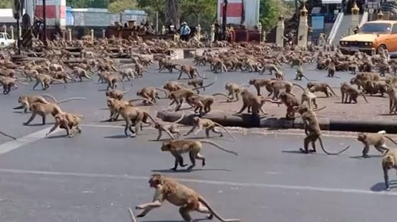 Risultato immagini per scimmie in thailandia coronavirus