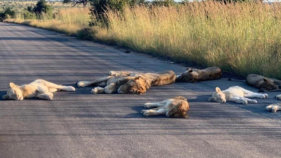 Coronavirus in Sudafrica, senza turisti i leoni dormono tranquilli ...
