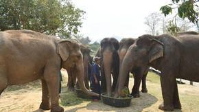 Come il coronavirus sta mettendo ancora più in pericolo gli elefanti della Thailandia