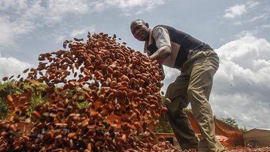 Perù, potrebbe essere il cacao la via d'uscita dalla produzione di cocaina