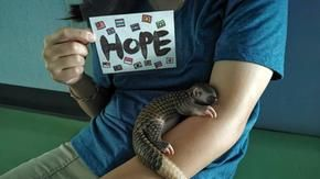 Baby pangolin saved from a roadside now has a new life expectancy