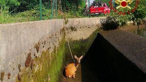 Prato Sesia, capriolo cade in un canale: salvato dai vigili del fuoco