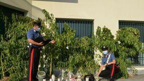 Piante di cannabis alte due metri tra i fiori e le erbe aromatiche: arrestato un uomo di 37 anni