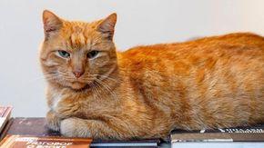Paura per Osya, il gatto rosso e anziano è stato rapito dal museo russo Anna Akhmatova