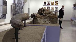 L'elefante che pascolava ai Fori Imperiali: i resti di 300mila anni fa per la prima volta mostrati al pubblico