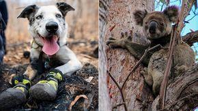 Premiato Bear, il cane abbandonato diventato eroe nel salvataggio di oltre cento koala durante gli infernali incendi in Australia