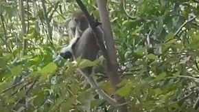 Un cucciolo di cane rapito da una scimmia e portato su un albero viene salvato dopo tre giorni