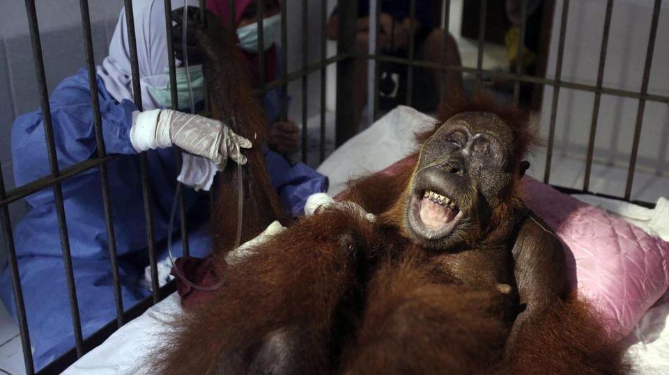 Risultato immagini per hope un orango immagine