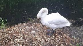 Female swan dies of
