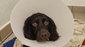 Il cane ingoia la maschera, tranne che per un intervento chirurgico d'urgenza