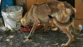 Cane Pastore Tedesco denutrito e in catene in Sardegna, il proprietario nei guai. Ora si cerca qualcuno che voglia adottare lei e i suoi cuccioli