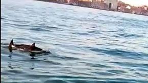 Venecia, una pareja de delfines en el Gran Canal