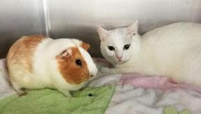 Cat and guinea pig, the strange couple is looking for a home together
