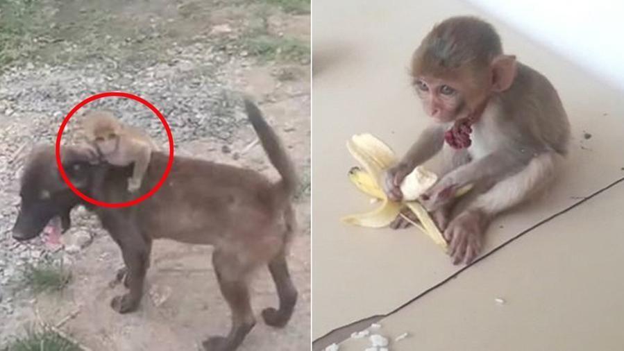 Un cane salva una scimmietta abbandonata e la porta alla polizia
