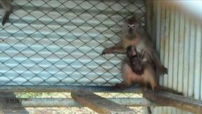 Animal traffic for experimentation, Lav: 59 percent of macaques brought to Europe arrive from Mauritius