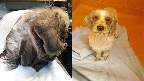Cane abbandonato in un cortile viene trovato sepolto sotto sette chili di pelo e sporcizia
