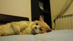 Renzo, the cat from Pisa without the tip of his nose is now looking for a home