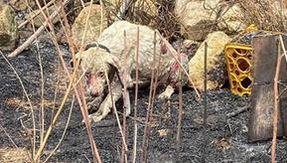 In Sardegna il cane pastore non scappa dalle fiamme per proteggere il gregge, salvato da un veterinario