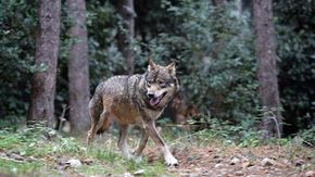 """""""Non andate a spasso, e ritirate gli animali: ci sono i lupi"""""""