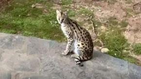 Il marito lascia la porta di casa aperta, la moglie si ritrova un felino selvatico sul letto