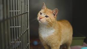 Coronavirus, primo caso di gatto positivo nel Regno Unito: è stato infettato dal proprietario