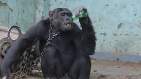 Congo: after 25 years with a chain around his neck and addicted to alcohol and smoking, the chimpanzee Tarzan is free