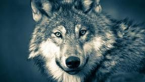 Friesland declares war on the wolf that is not there