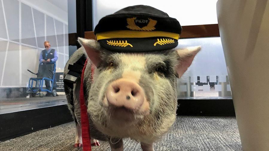 L'aeroporto di San Francisco ha assunto un maialino da terapia contro l'ansia dei passeggeri