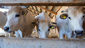 Anche le mucche hanno il ventilatore, agricoltori stremati da caldo e siccità