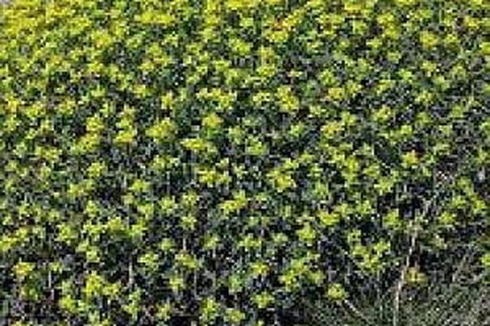 Arbusto Boschivo Dai Fiori Gialli.Liguria I Predatori Delle Piante Gialle Repubblica It