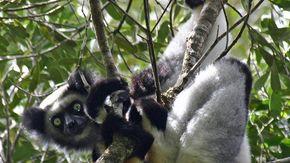 I lemuri cantano e tengono il ritmo: lo dice uno studio di ricercatori italiani, francesi e olandesi