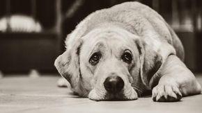"""Cane Labrador ha una crisi epilettica, viene salvato dalla Polizia. I proprietari: """"Grazie, lui aiuta nostro figlio autistico"""""""