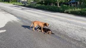 Un cane randagio cerca di aiutare un altro cane a quattro zampe che è stato investito da un'auto e il finale è fantastico