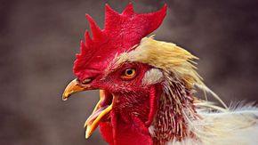 """Condannato in Austria un gallo per il suo canto, i giudici: """"Anche chi vive in campagna ha diritto alla quiete"""""""
