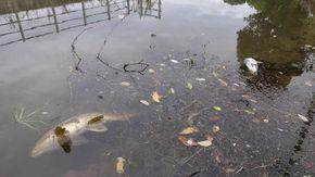 A Novara moria di pesci e forti odori: il disastro per i liquami tossici versati nella roggia Paltrenga