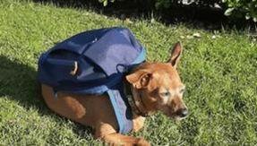 Adiós Luigi, el perro cartero que trajo las necesidades básicas a su familia durante el encierro