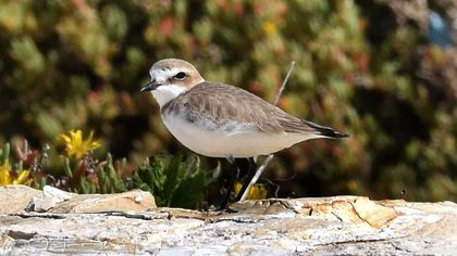 Bari, il ritorno del fratino sul lungomare per nidificare