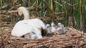 Un cigno maschio si prende cura dei suoi piccoli da solo dopo la morte della madre