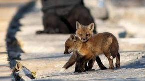 Fox mother and three cubs have found home on the beach, in Toronto they are all crazy for them