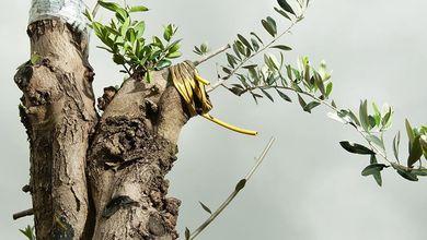 C'è speranza tra gli ulivi. In Salento il primo raccolto dall'esperimento anti Xylella