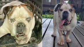 Le trasformazione di Rocko, il cane bulldog lasciato all'incuria dalla sua famiglia