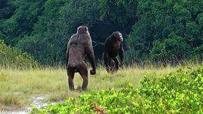 """In Africa gli scimpanzé uccidono i gorilla, """"E' la prima volta, è colpa del surriscaldamento climatico e della fame"""""""